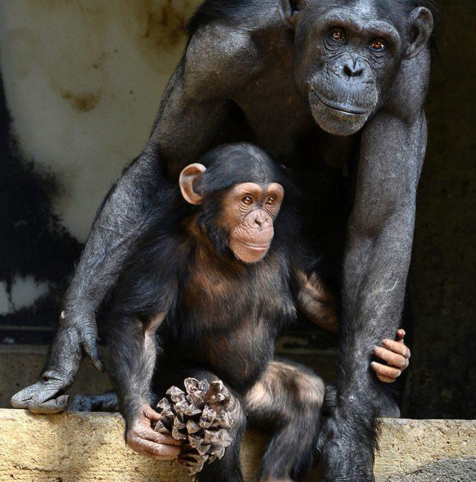 Opvoeden als een aap